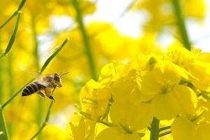 蜂に刺された時の対処法!腫れや痛みの症状が出たら病院へ